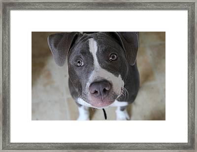 Blue Nose Pit Bull Terrier Framed Print by Khoa Luu