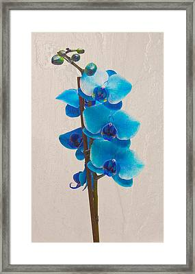 Blue Orchid Framed Print by Scott Carruthers