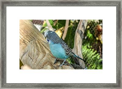 Blue Parakeet Framed Print by Renee Barnes