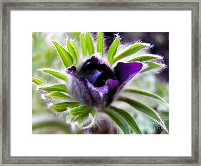 Blue Pasque Flower - Closeup Framed Print