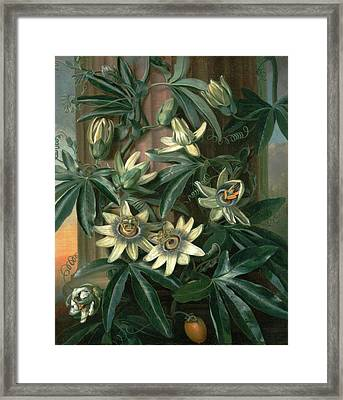Blue Passion Flower, For The Temple Of Flora By Robert Framed Print by Litz Collection