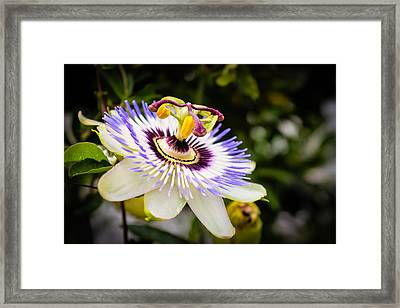 Blue Passion Flower Framed Print