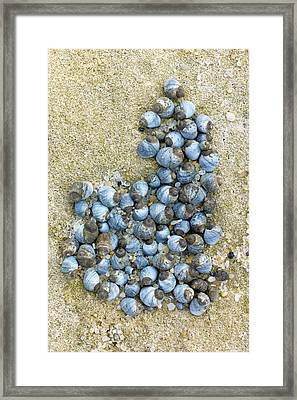 Blue Periwinkles On A Rocky Shore Framed Print by Dr Jeremy Burgess
