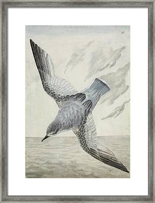 Blue Petrel Framed Print by Natural History Museum, London