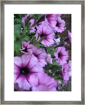 Blue Petunias Framed Print