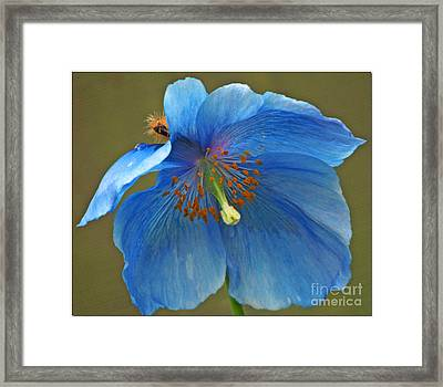 Framed Print featuring the photograph Blue Poppy by Chris Anderson