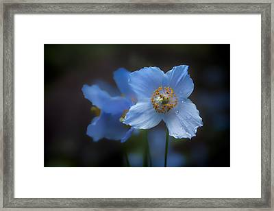 Framed Print featuring the photograph Blue Poppy by Jacqui Boonstra