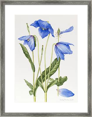 Blue Poppy Framed Print by Sally Crosthwaite