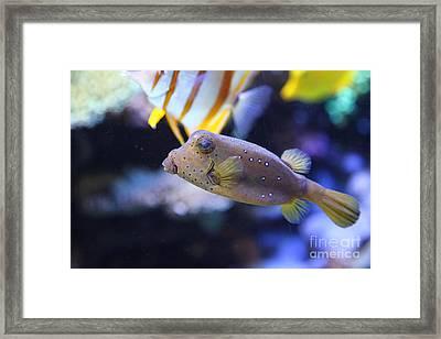 Blue Puffer Fish 5d24888 Framed Print