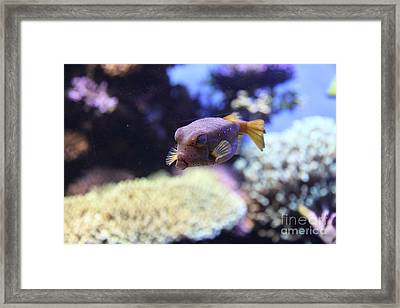 Blue Puffer Fish 5d24889 Framed Print