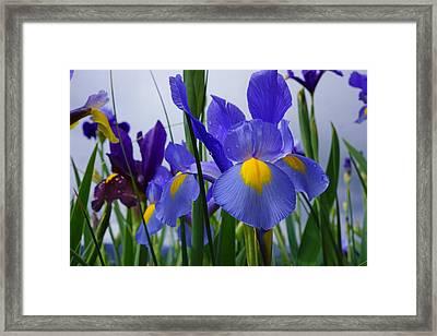 Blue Purple Iris Flowers Art Prints Framed Print