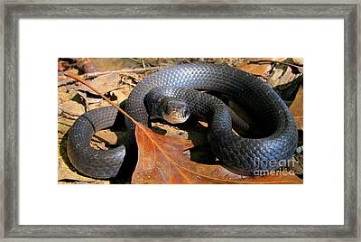 Blue Racer Framed Print