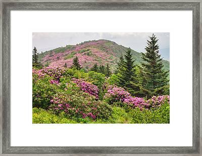 Blue Ridge Mountain Rhododendron - Roan Mountain Bloom Extravaganza Framed Print by Bill Swindaman