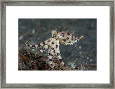 Blue Ring Octopus Framed Print by Scubazoo