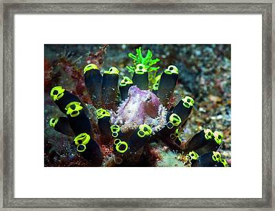 Blue-ringed Octopus On Sea Squirts Framed Print