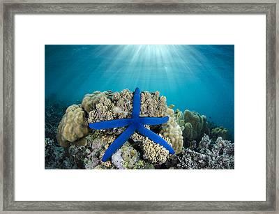 Blue Sea Star Fiji Framed Print