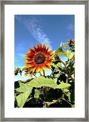 Blue Sky And Sun Flower Framed Print