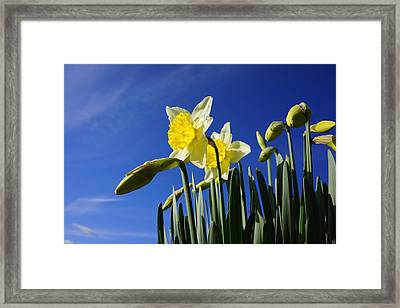Blue Sky Spring Daffodil Flowers Art Prints Framed Print by Baslee Troutman