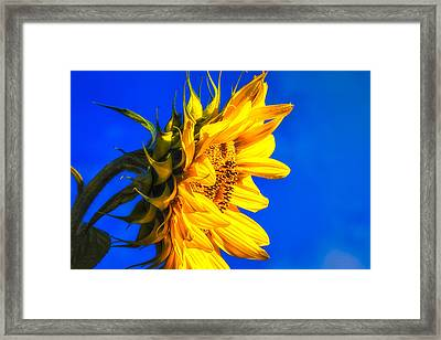 Blue Sky Sunshine Sunflower Framed Print by Bob Orsillo