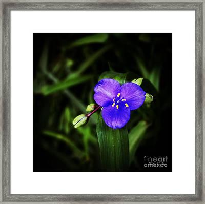 Blue Spiderwort  Framed Print by Jinx Farmer