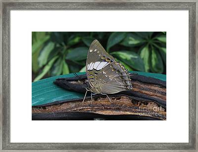Blue-spotted Charaxes Butterfly Framed Print