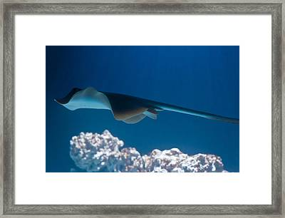 Framed Print featuring the photograph Blue Spotted Fantail Ray by Eti Reid