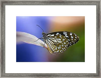 Blue Spotted Milkweed Butterfly  Framed Print