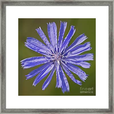 Blue Star... Framed Print by Nina Stavlund