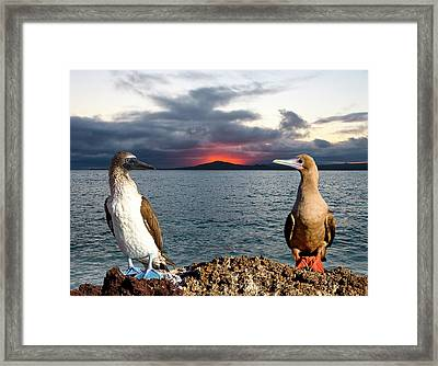Blue (sula Nebouxii Framed Print by Jaynes Gallery