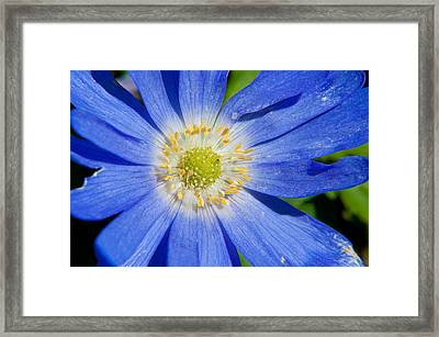 Blue Swan River Daisy Framed Print
