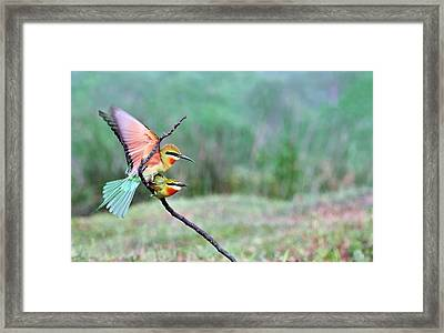 Blue-tailed Bee-eaters Mating Framed Print