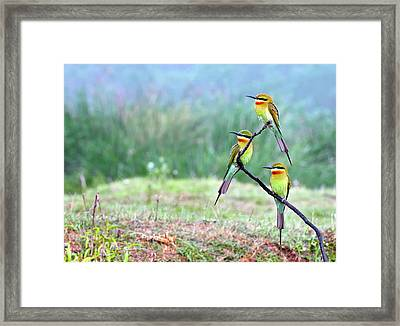 Blue-tailed Bee-eaters Perching Framed Print
