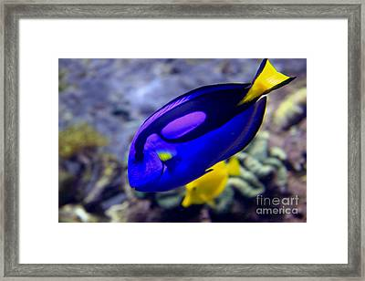 Blue Tang Dory Framed Print