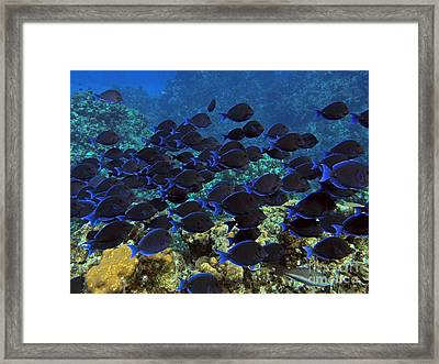 Blue Tangs Framed Print by Carey Chen