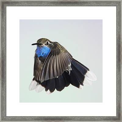 Blue Throated Hummingbird Framed Print