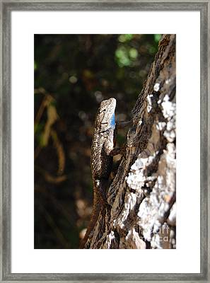 Framed Print featuring the photograph Blue Throated Lizard 3 by Debra Thompson