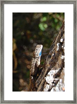 Framed Print featuring the photograph Blue Throated Lizard 4 by Debra Thompson