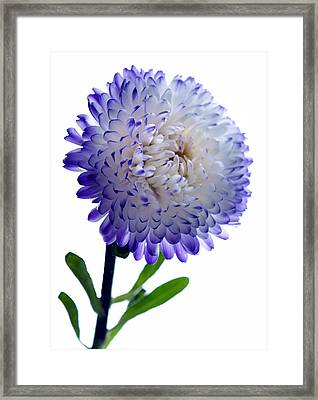 Blue Tipped Aster Framed Print by Terence Davis
