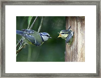 Blue Tit And Chick Framed Print