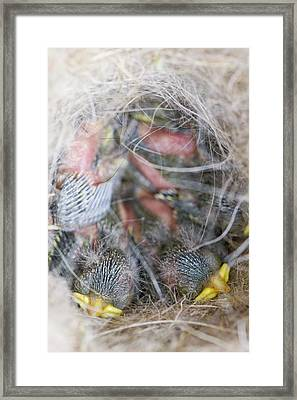 Blue Tit Chicks In A Nest Box Framed Print by Ashley Cooper