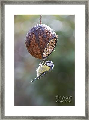 Blue Tit Feeding Framed Print by Tim Gainey