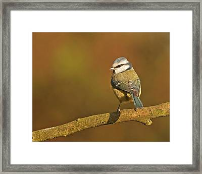 Framed Print featuring the photograph Blue Tit by Paul Scoullar