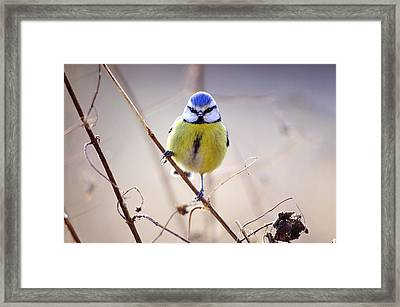Blue Tit Framed Print by Science Photo Library