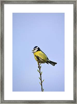 Blue Tit Sitting Pretty  Framed Print