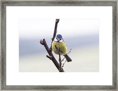 Blue Tit Framed Print by Tim Gainey