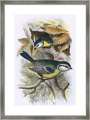 Blue Titmouse Framed Print