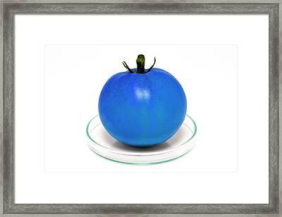 Blue Tomato On Petri Dish Framed Print by Victor De Schwanberg