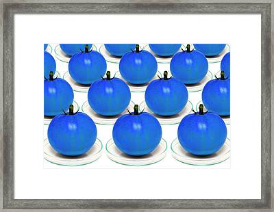 Blue Tomatoes On Petri Dishes Framed Print