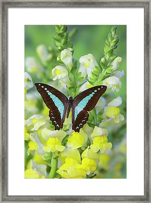 Blue Triangle Butterfly, Graphium Framed Print by Darrell Gulin