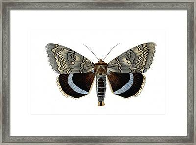 Blue Underwing Moth Framed Print